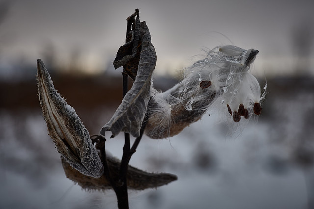 milkweed, in snow, ice, wind and freezing temperatures, 11-11-19 5