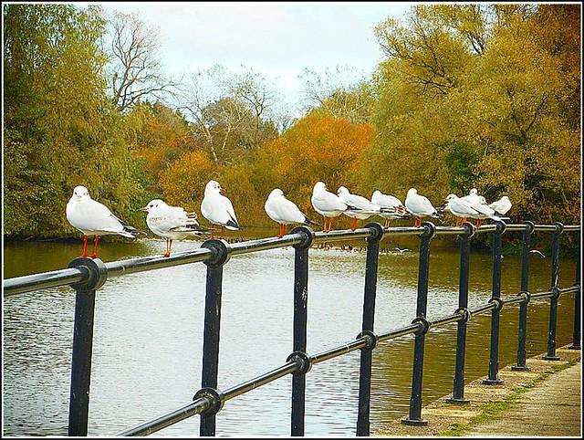 A Dozen Seagulls ...