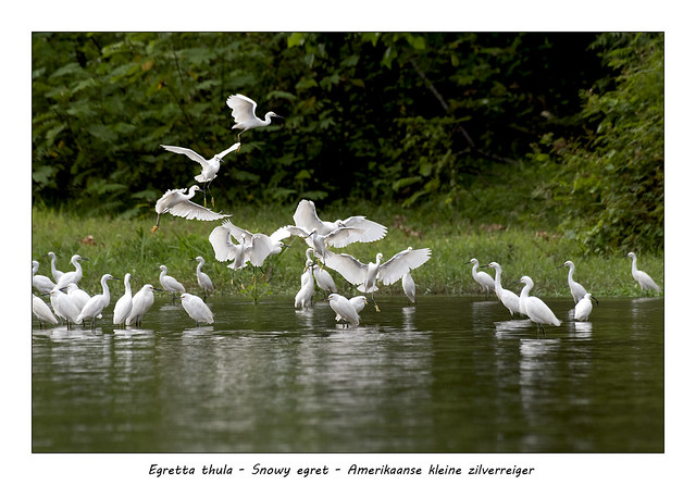 Snowy egret #8