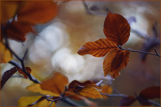 In the autumn light. Clouds of leaves.