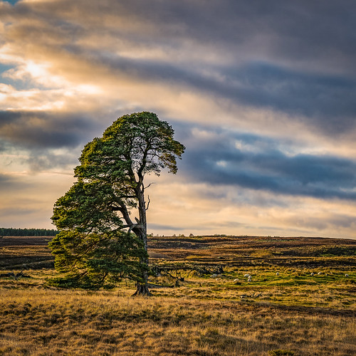 pine scots caledonian wood woodland forest pinewood lost fragment relic tree trees nature natural native sky sun clouds sunset sundown light colour colours rosshire highlands scotland conservation rewilding landscape sheep eating grazing browsing