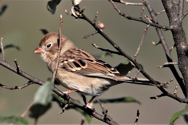 Field Sparrow (Spizella pusilla) 10-09-2019 Finzel Swamp--Field and Pond, Allegany Co. MD
