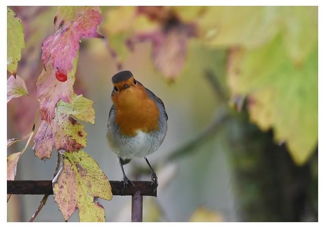 Robin mécontent !  DSC_2833G_F1