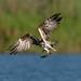 魚鷹 Osprey