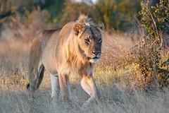 Young male lion ambles past our Jeep.
