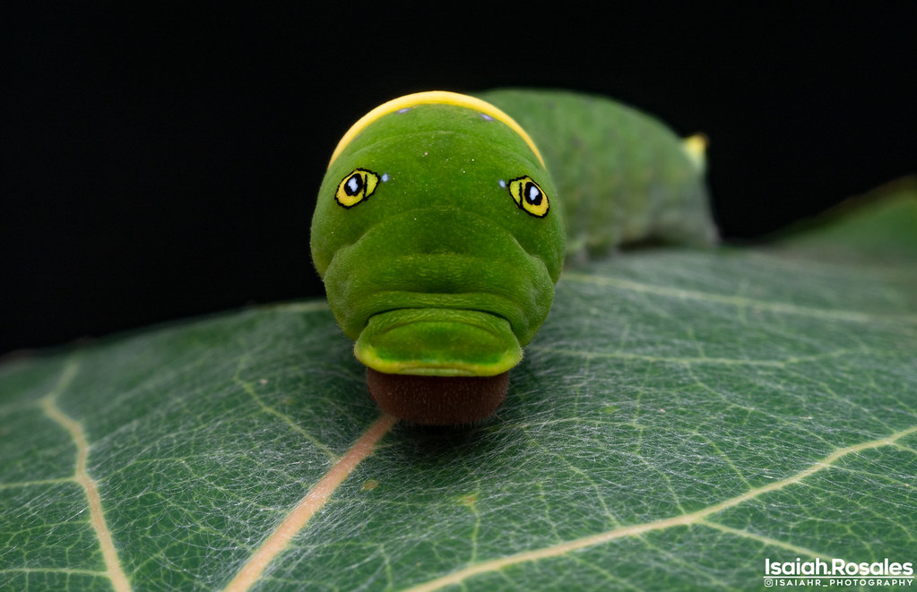 Swallowtail caterpillar - Papilio