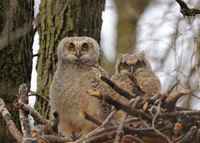 Great Horned Owlets...#5