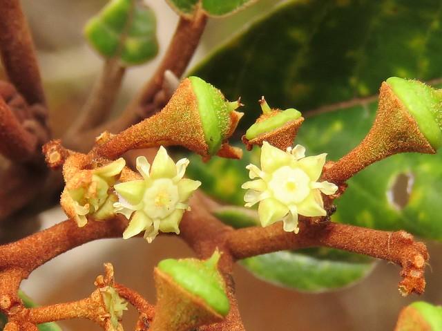 Alphitonia neocaledonica