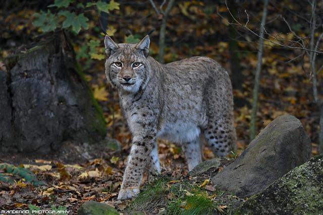 Eurasian lynx - Zoo Duisburg
