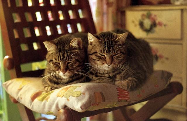Due teste per un gatto
