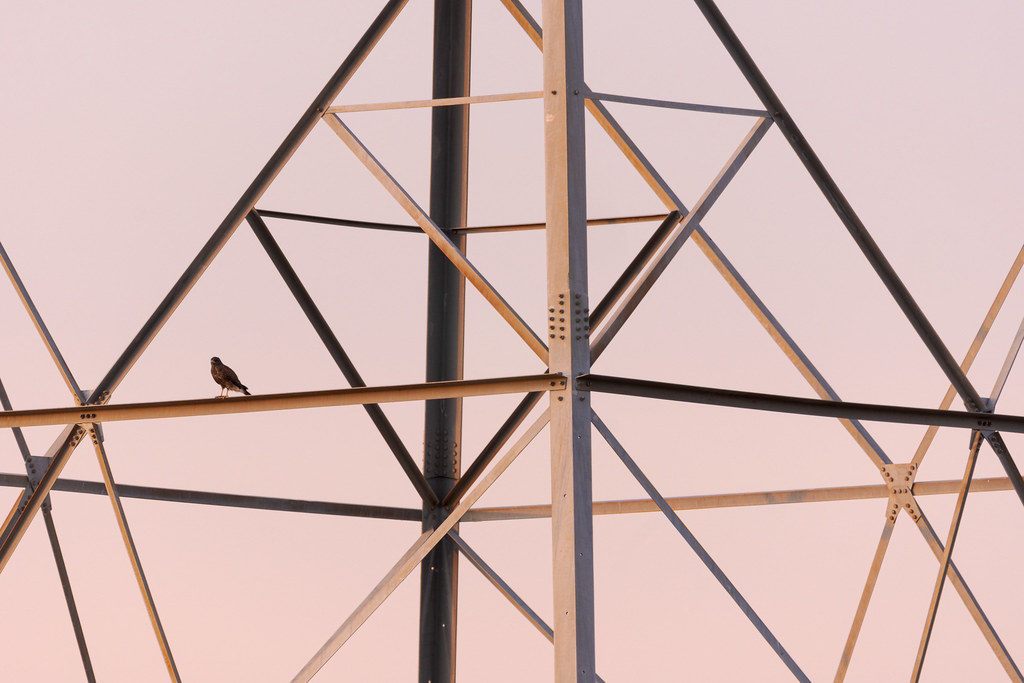 A Harris's hawk perches on a transmission tower with the rising sun barely illuminating the tower on the Vaquero Trail in McDowell Sonoran Preserve in Scottsdale, Arizona in November 2019