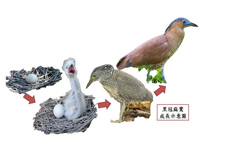 黑冠麻鷺成長示意圖。圖/台大森林系野生動物研究室提供