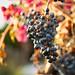 Lynmar Estate Winery Fall Foliage