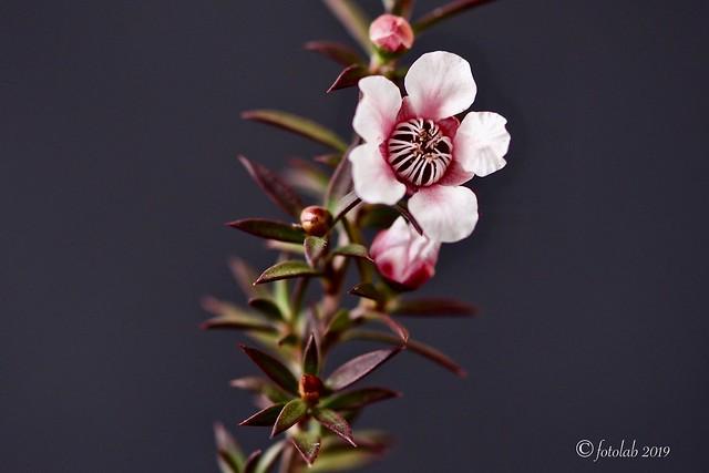 Leptospermum scoparium.