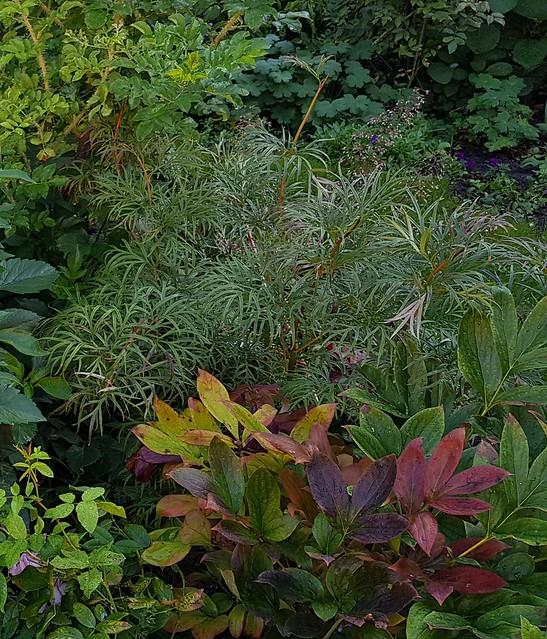 Paeonia tenuifolia and Paeonia lactiflora 'Karl Rosenfield' in autumn