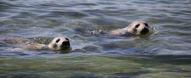 Seals swimming synchronized