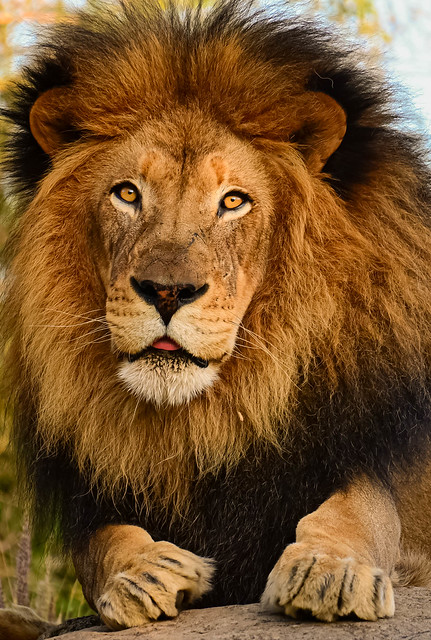 Izu - 15 yr. old African Lion