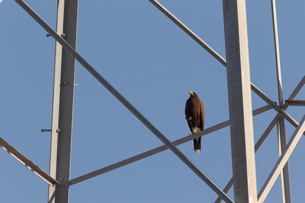 A Harris's hawk looks up while perching on one leg on a transmission tower, taken from the Chuckwagon Trail in McDowell Sonoran Preserve in Scottsdale, Arizona in May 2018