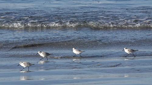 Sanderlings in Search of Sand Crabs for Breakfast