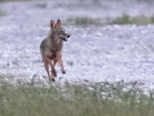 Coyote 01-20191116