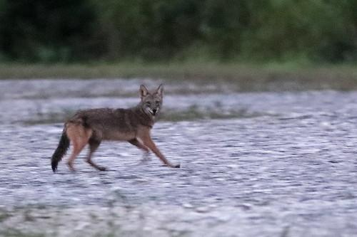 Coyote 04-20191116