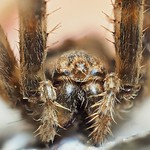 So, 17.11.19 - 20:42 - Portrait of a garden spider  Dead specimen found dead  Olympus PEN-F, Olympus m.Zuiko 60mm F2.8 Macro, @F2.8, 1/20s, ISO 400, Tripod, 16mm extension rings, 1x Flash with Sundisc, 236 frames stacked with Zerene Stacker, some dirt retouched directly in Zeren, frames were OOC, no further editing