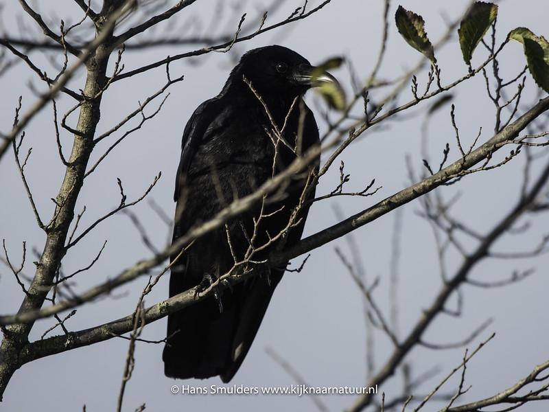 Zwarte kraai (Corvus corone)-819_3596