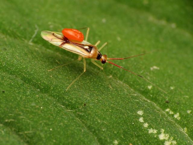 Translucent Plant Bug