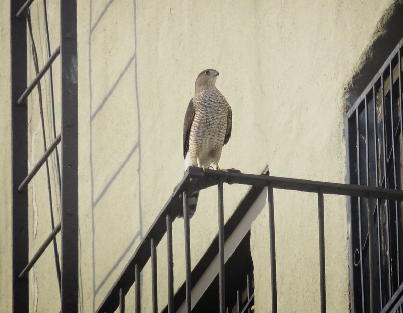 Cooper's hawk on a fire escape