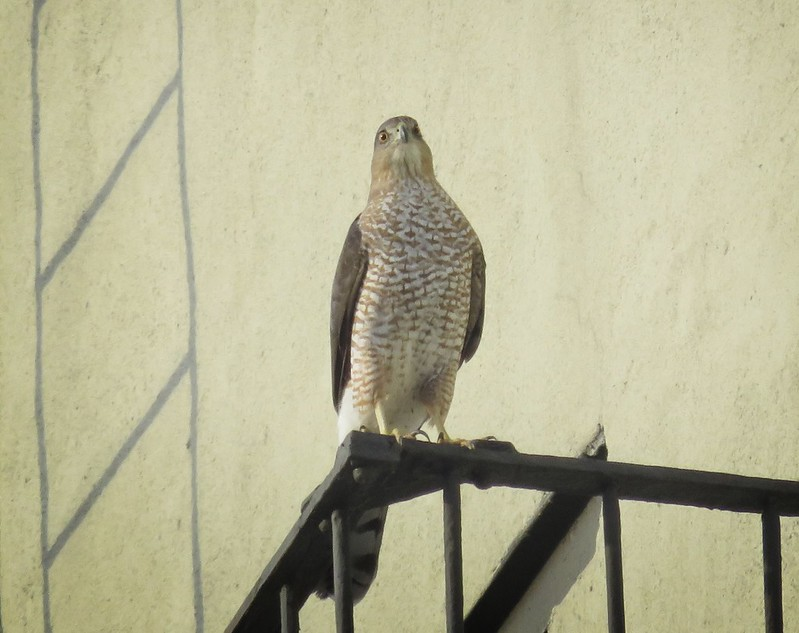 Cooper's hawk on E 6th Street