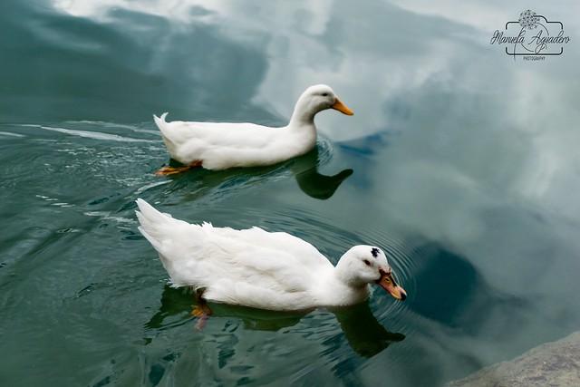 Siempre juntxs ❤️❤️  #patos #ducks #presacondedeguadalhorce #embalsedelcondedeguadalhorce #málaga #andalucía #españa #spain #turismospain #embalse #reservoir #reflejos #reflexes #espejo #mirror #paisaje #landscape #naturaleza #nature #photogra