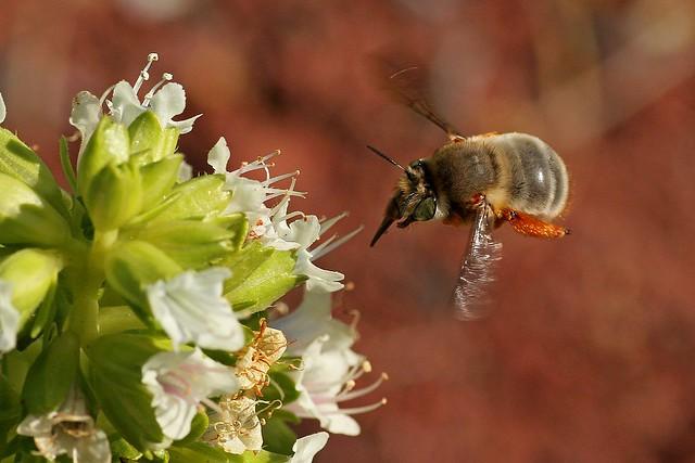 Rolf_Nagel-Fl-7319-Anthophora porphyrea-female