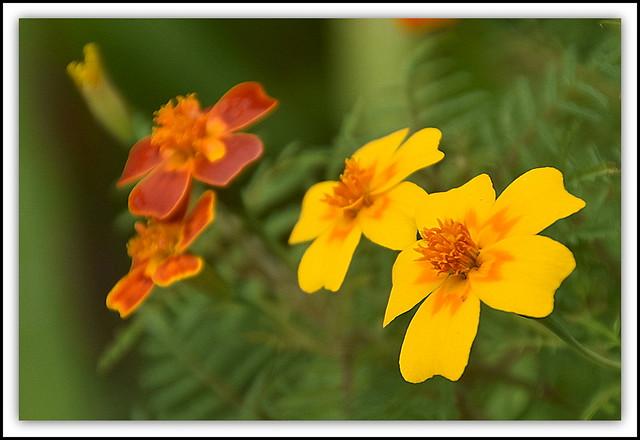 Marigold /Tagetes