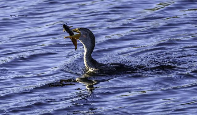 Cormorant with prey