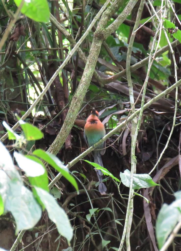 Panama birdwatching trip Oct/2019