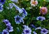 Petunias & Dahlias