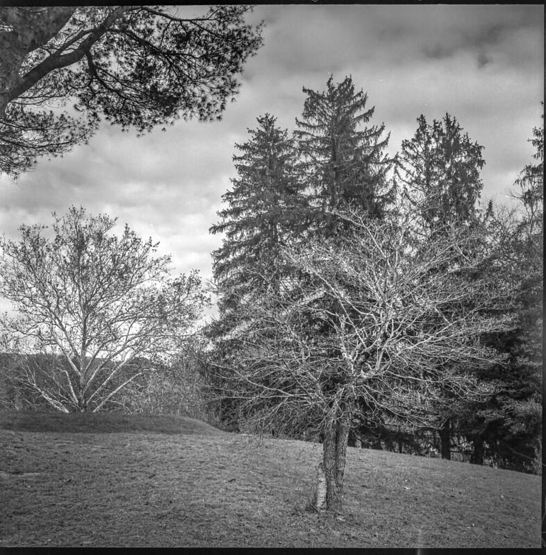 late autumn tree forms, Black Mountain Golf Club, Black Mountain, NC, Ricohflex Dia M, Kodak Tri-X 400, HC-110 developer, 11.16.19