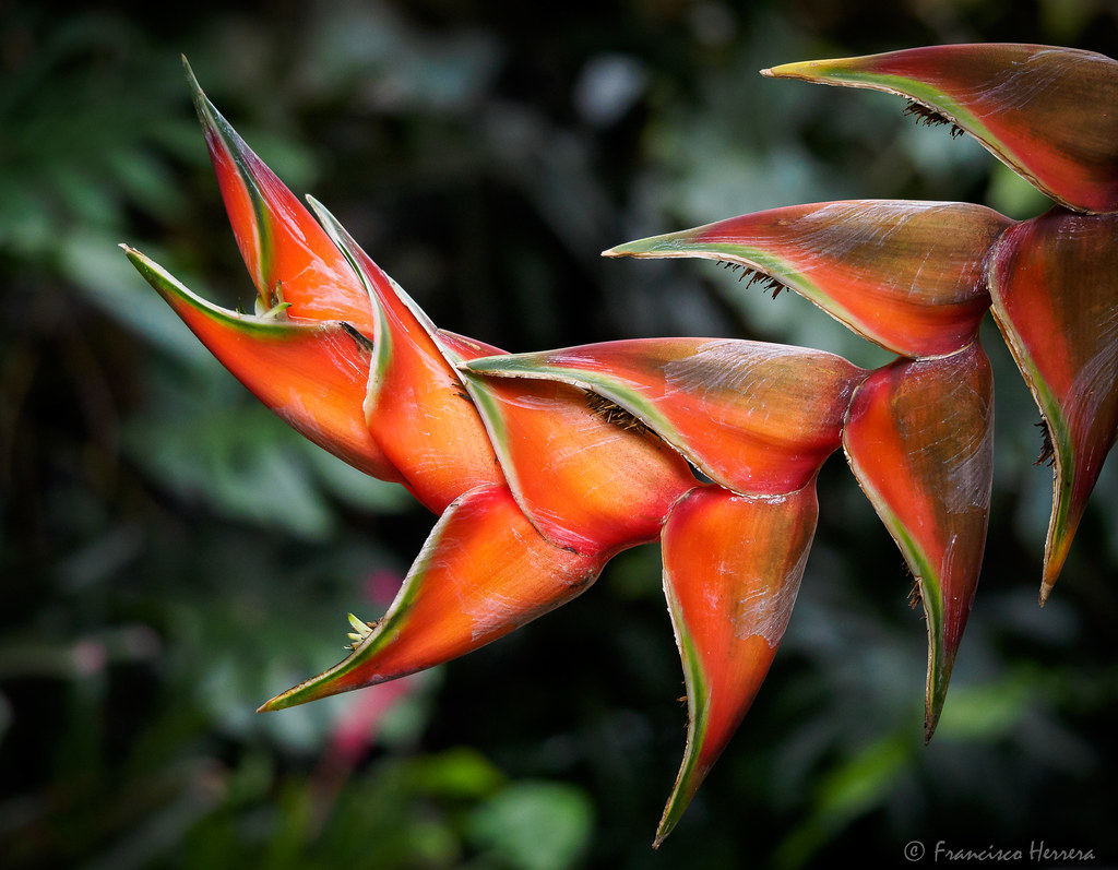 Lobster Claw Heliconia (Heliconia bihai)