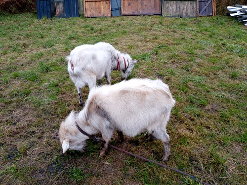 goats on small holding Nov 19 (3)