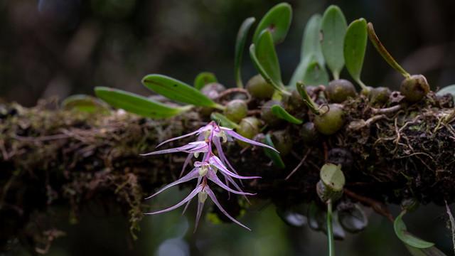 Bulbophyllum amoenum