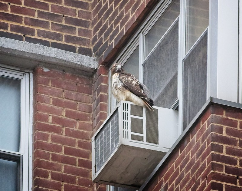 Red-tail perched on an air-conditioner on the Lower East Side