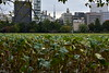Ueno Park, lotus flowers (cityscape with Skytree) by pedrik