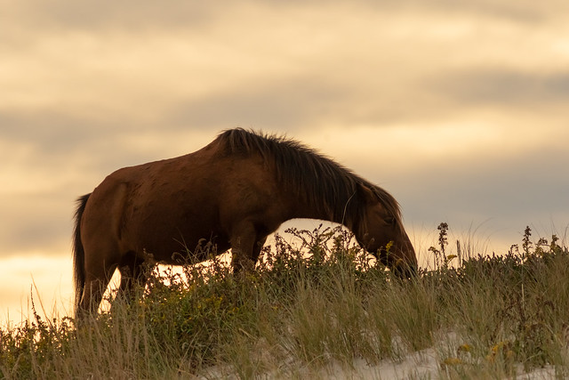 Grazing in the Dunes at Sunset