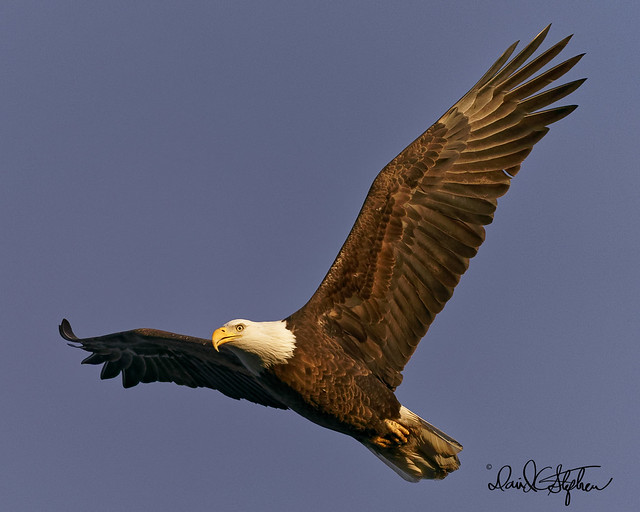 Bald Eagle Flies Near