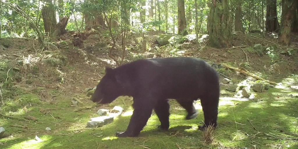人怕熊,熊更怕人。遇到台灣黑熊只需安靜退避,最好不要出現具威脅性行為。圖片來源:東勢林區管理處