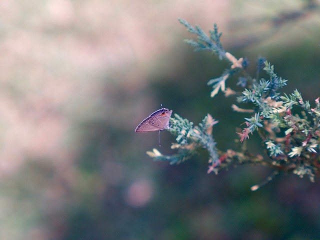 Nature Sunday: Butterfly (Takumar 55mm f1.8 + Kitstar 2x Teleconverter)