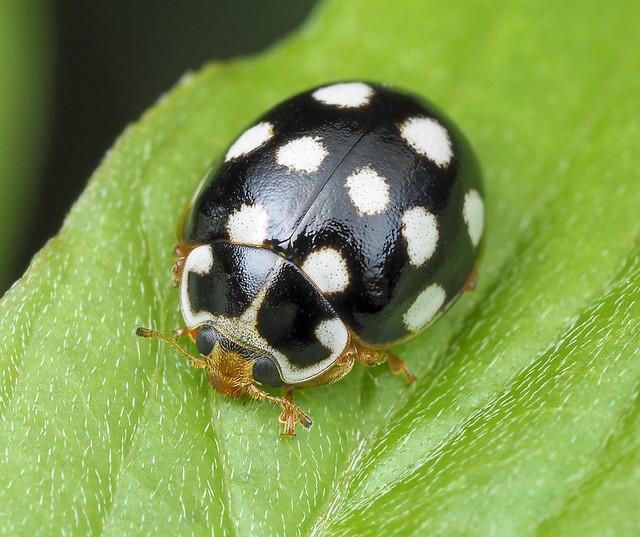 Cream-spotted Lady Beetle - Calvia quatuordecimguttata (Coccinellidae, Coccinellinae, Coccinellini) 118z-7287241