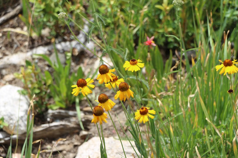 Yellow daisy flowers along a watercourse on the Kearsarge Pass Trail