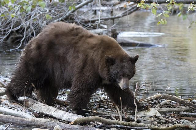 Dam Bear