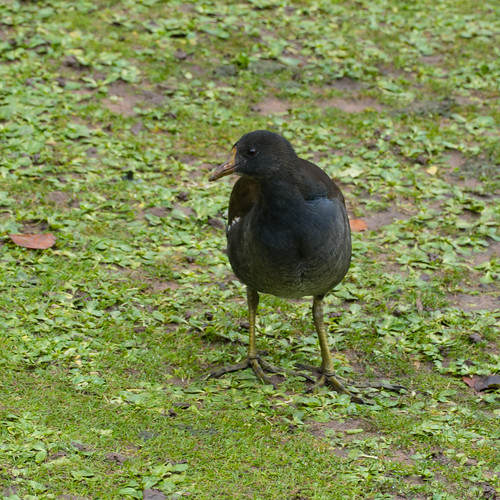 Young moorhen on muddy ground